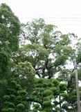 兵庫:西宮の家 クスノキ