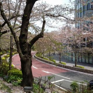 東京ミッドタウン桜